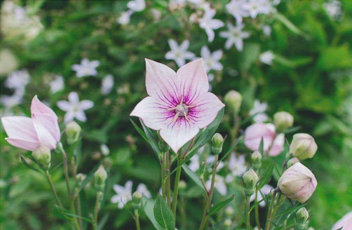 Platycodon è un'erba perenne.