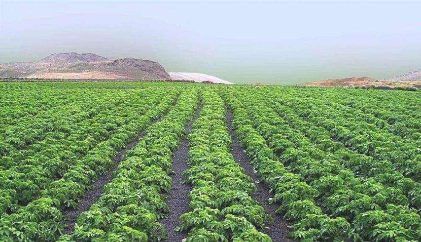 Coltivazione di asparagi verdi