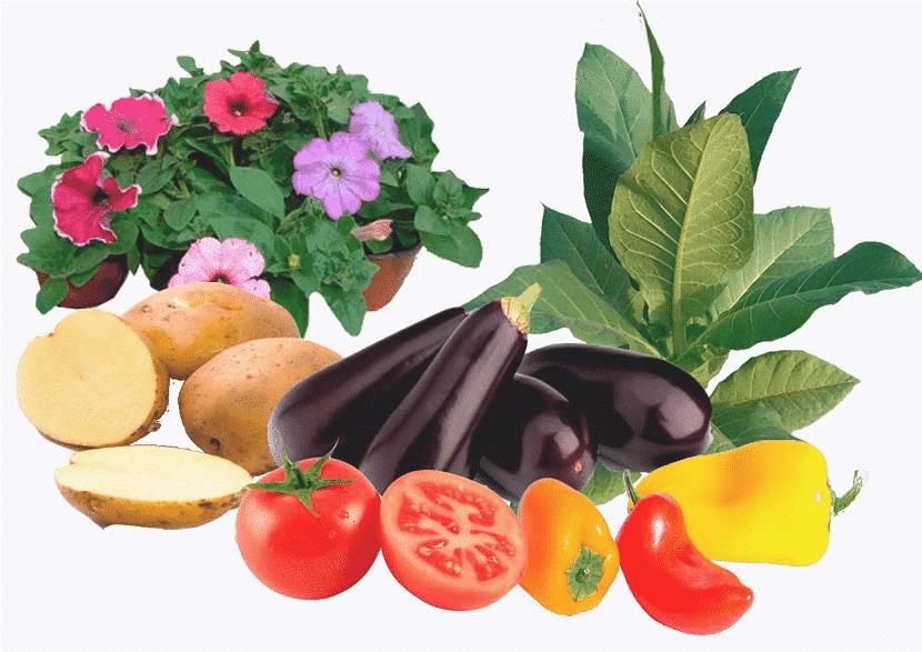 coltivazione di Solanaceae