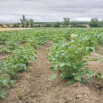 cultivo de patatas