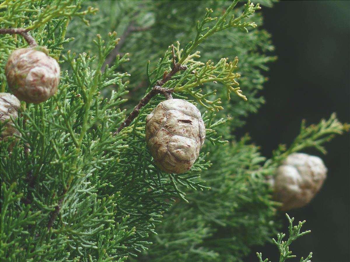 Il Cupressus sempervirens è una conifera perenne.