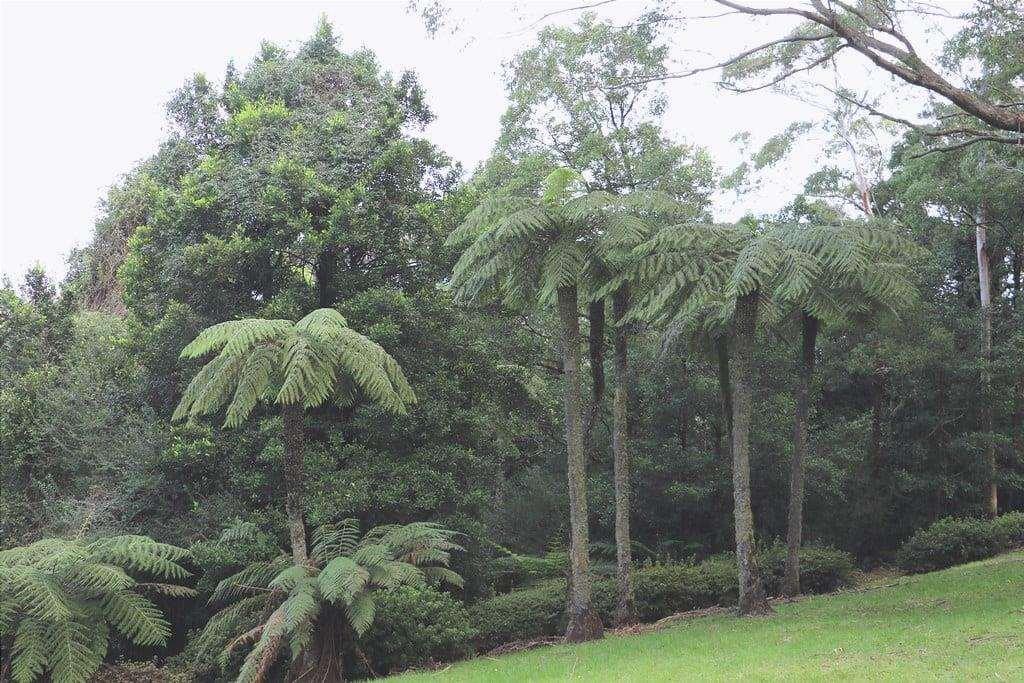Vista di Cyathea australis