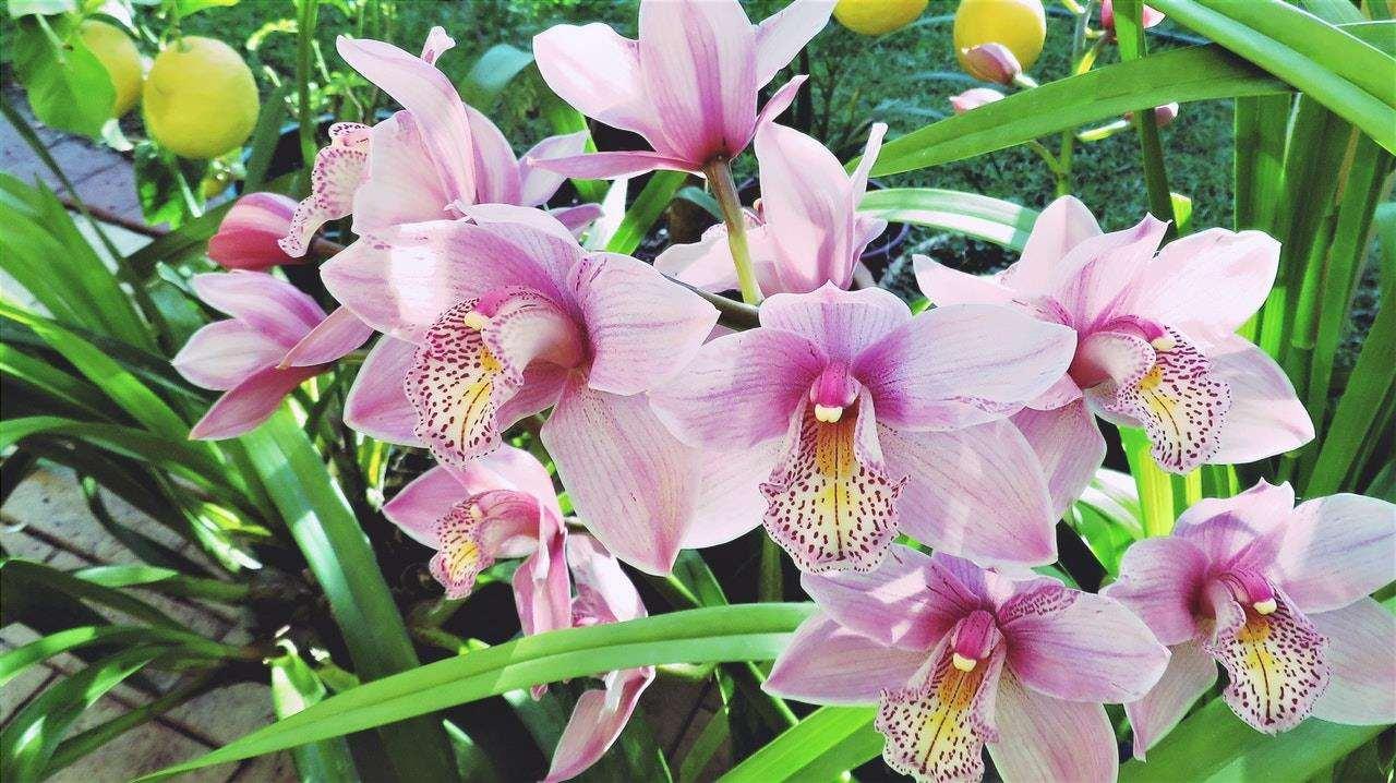 Il Cymbidium è un'orchidea terrestre.