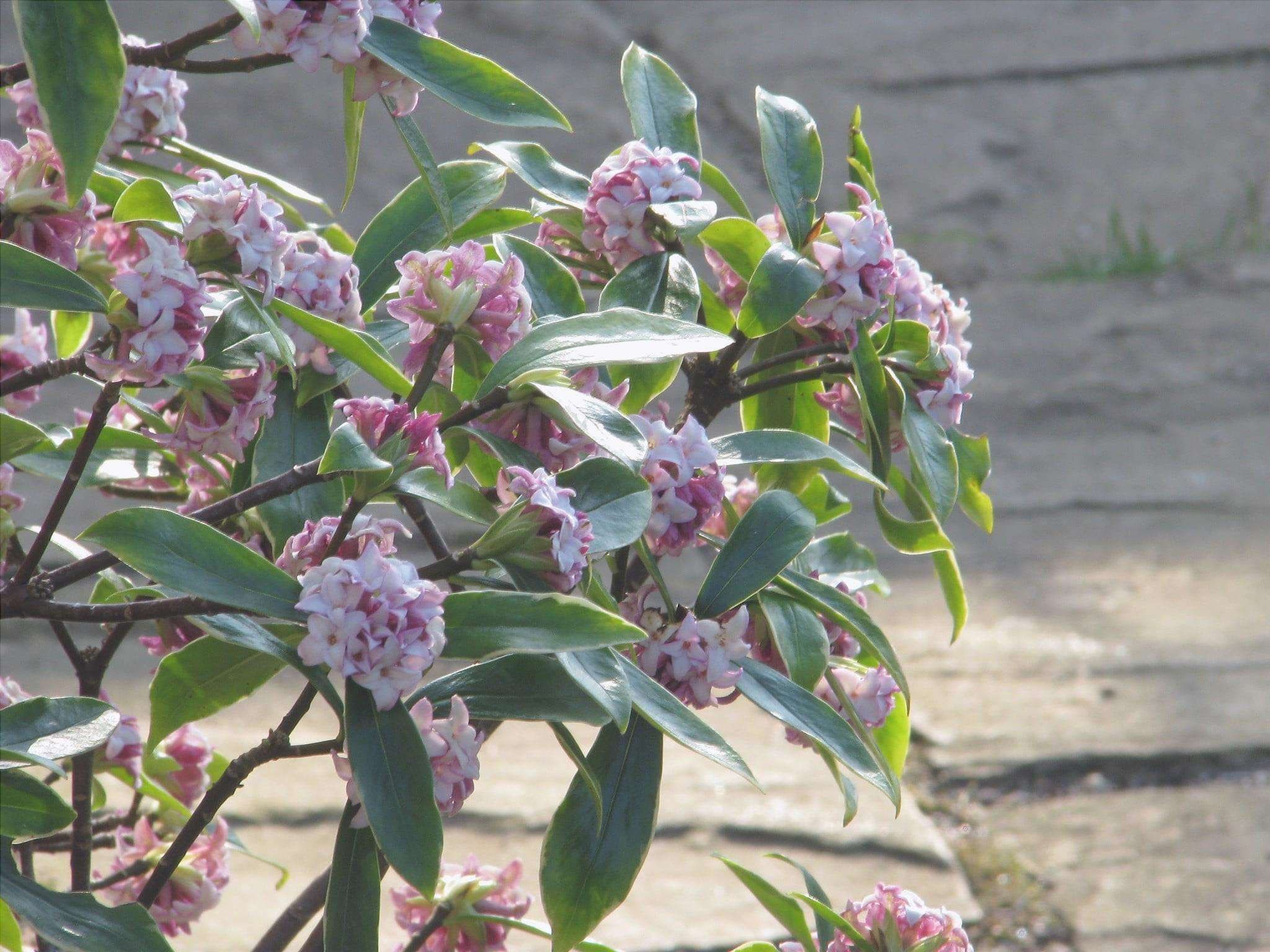 Daphne odora è un arbusto da fiore.