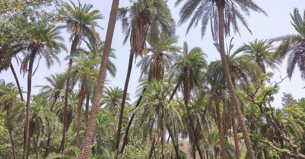 La palma da dattero è una palma che ama il sole.
