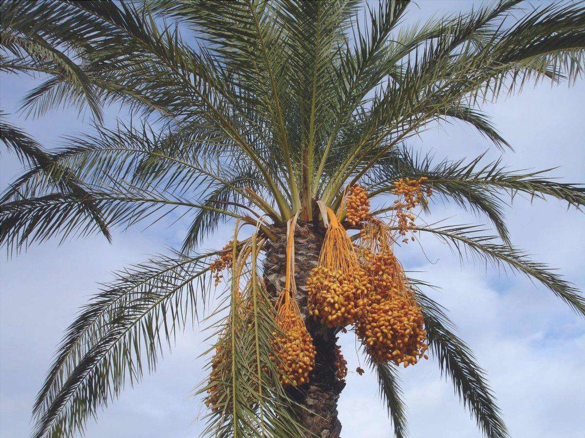 La palma da dattero è una palma che produce datteri commestibili.