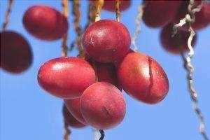 I frutti della Fenice sono bacche commestibili.