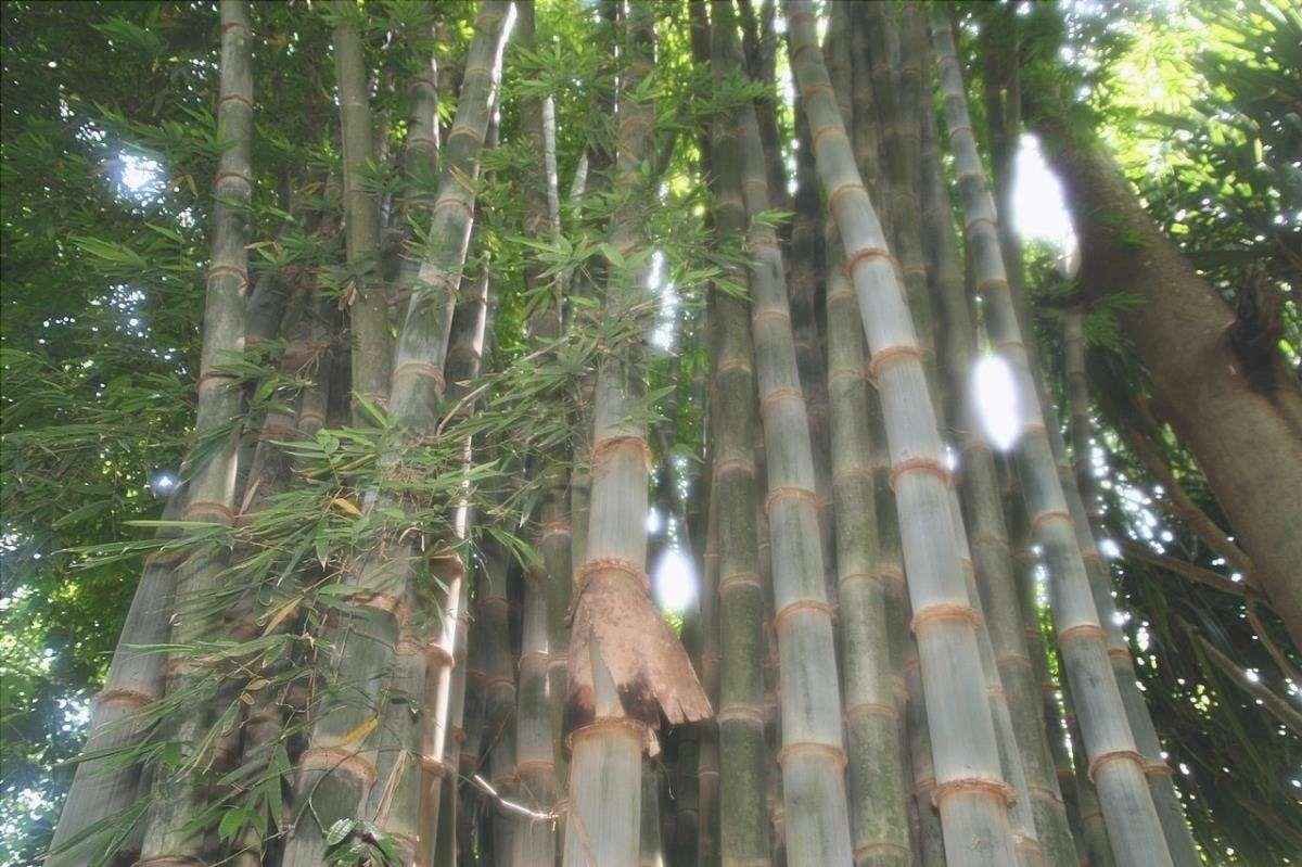 I dendrocalamus sono bambù molto grandi.