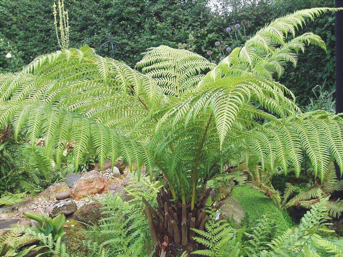 La dicksonia è una felce arborea che resiste al freddo.