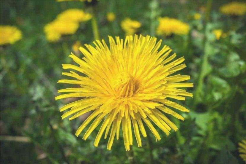 Il fiore del dente di leone è giallo