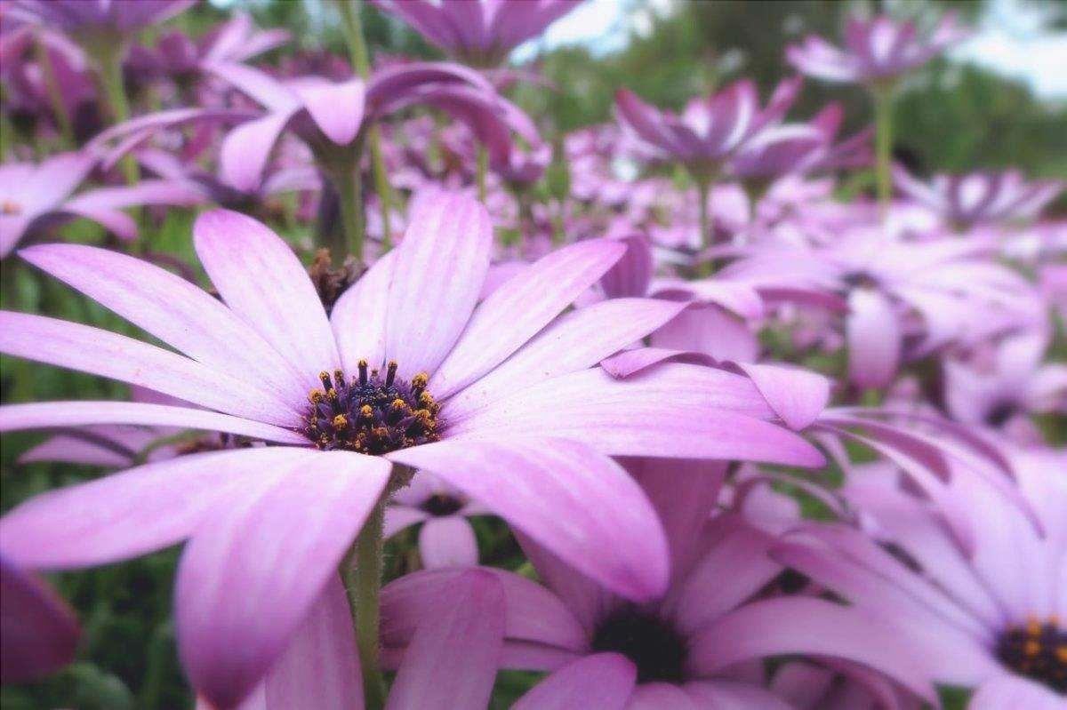 La dimorphotheca è una pianta con fiori a forma di margherita.