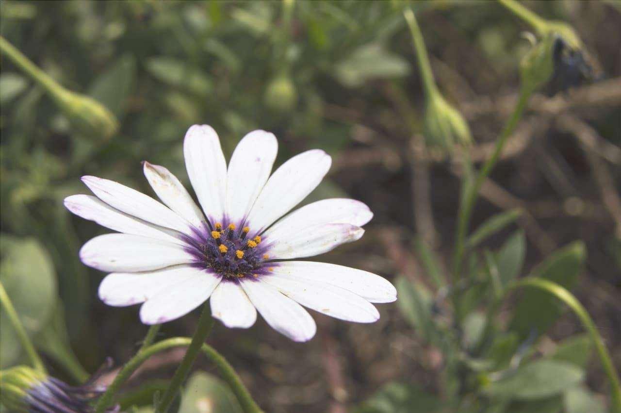 I fiori della dimorphotheca sono come margherite.