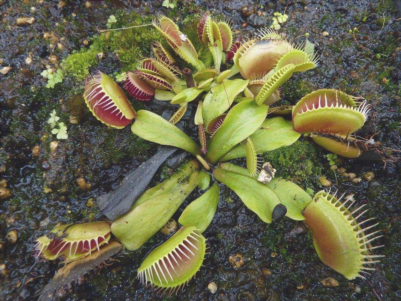 Dionaea muscipula è un piccolo carnivoro.