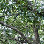 diospyros ebenum ramas