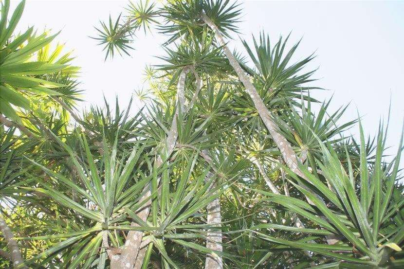 Dracaena marginata è un grande arbusto.