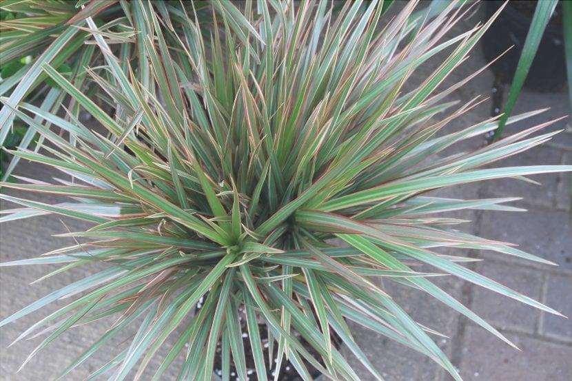 Le foglie della Dracaena marginata sono di due colori