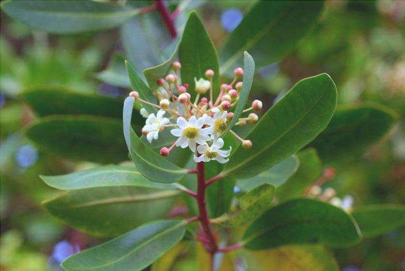 Fiore di Drimys winteri