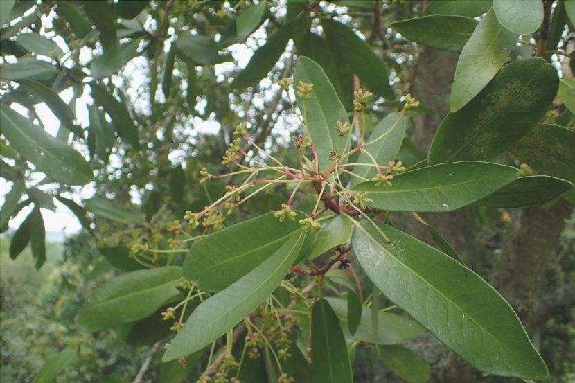 Le foglie dell'albero di cannella sono sempreverdi