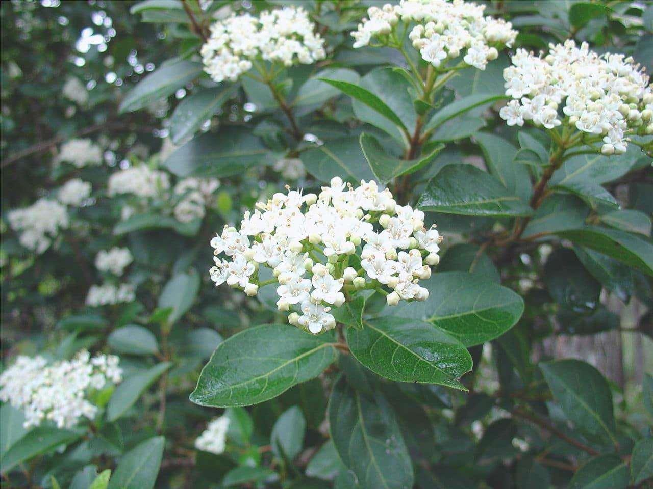 Il durillo è un arbusto o un alberello perenne.