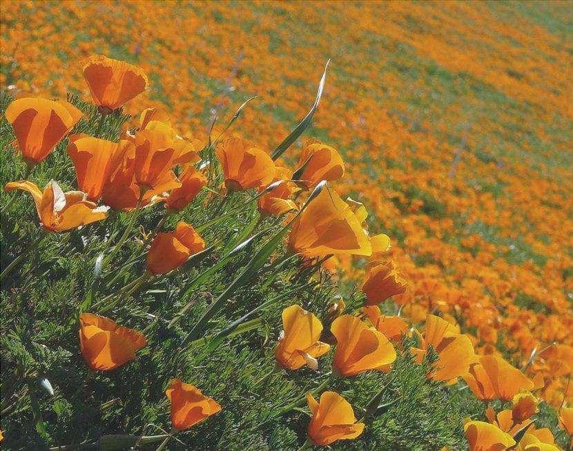 Eschscholzia california, papavero della California in habitat