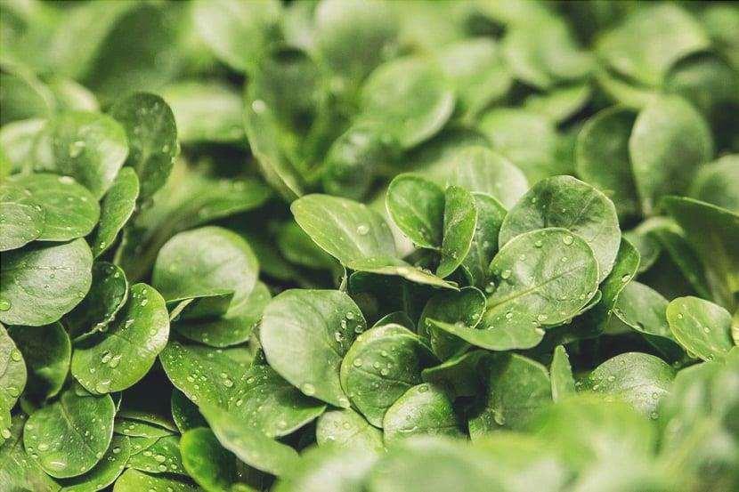 foglia di verdura