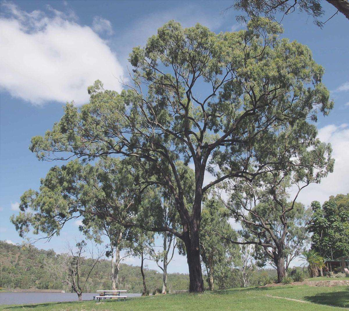 Gli eucalipti hanno radici aggressive