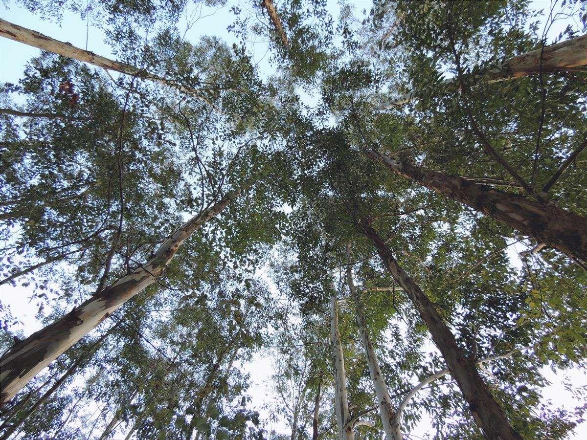 Gli eucalipti sono alberi alti