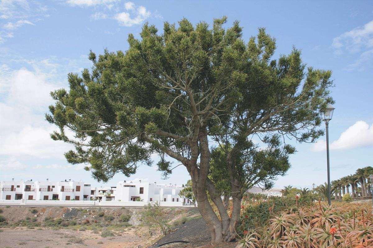 L'albero delle dita è un albero succulento