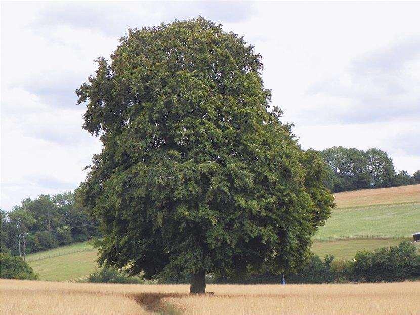 Il faggio è un grande albero
