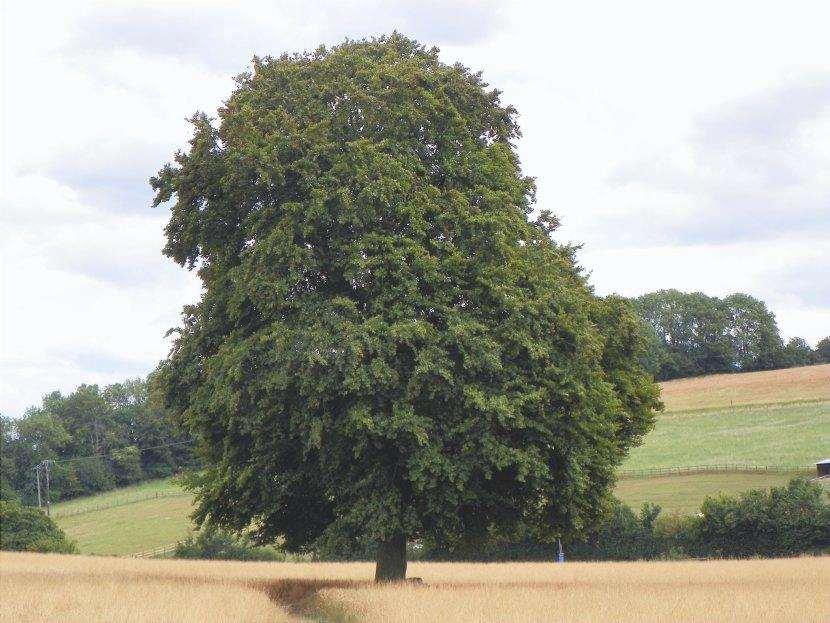 Le foglie del Fagus sylvatica sono decidue.