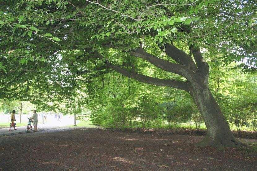 Fagus sylvatica 'Quercifolia', alberi da ombra