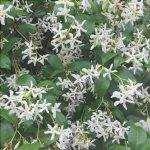 Il falso gelsomino è un rampicante rustico con fiori bianchi.