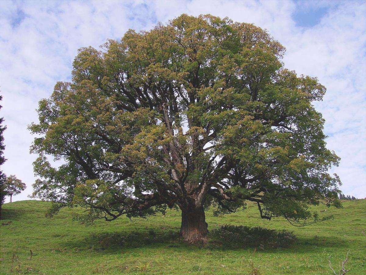 Gli aceri sono alberi che producono camara