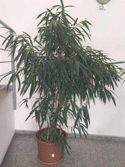 Il Ficus Alii è un albero sempreverde.