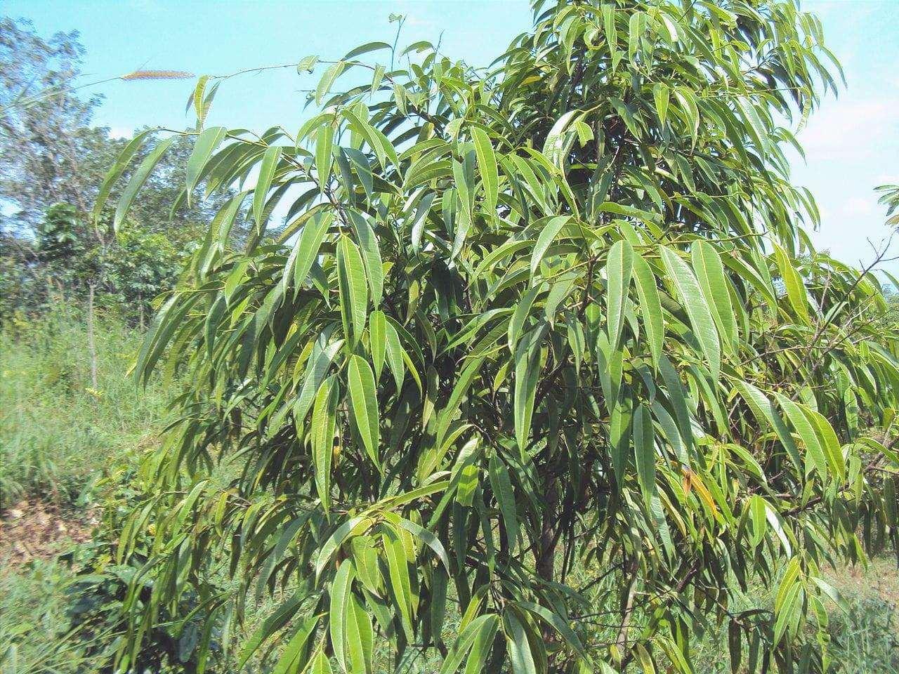 Vista del Ficus maclellandii in habitat