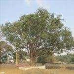 Il Ficus religiosa è un albero sempreverde.