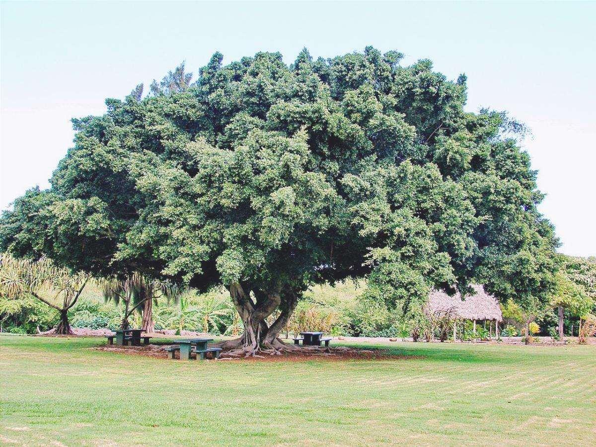 I Ficus sono alberi che hanno bisogno di spazio