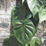 Il filodendro è una pianta che si riproduce facilmente per talea.