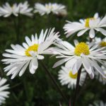flor blanca 1