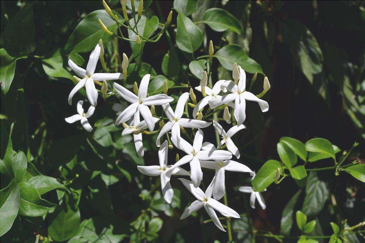 Il gelsomino ha fiori bianchi