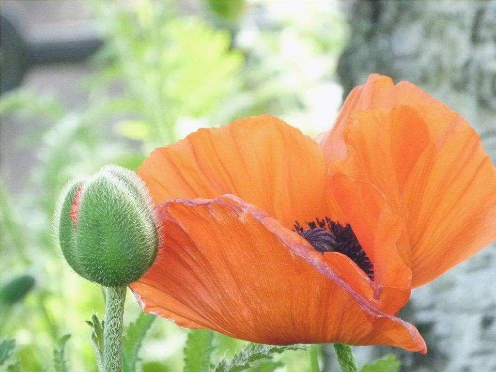 Fiore di papavero