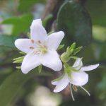 flor de carmona microphylla