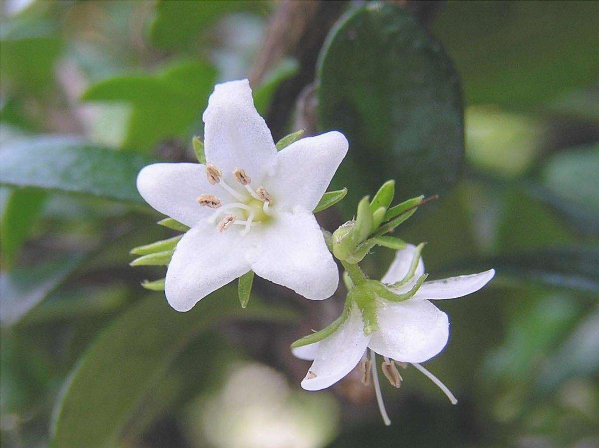 La Carmona microphylla ha fiori bianchi.