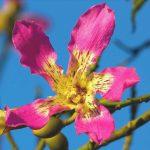 flor de ceiba 1