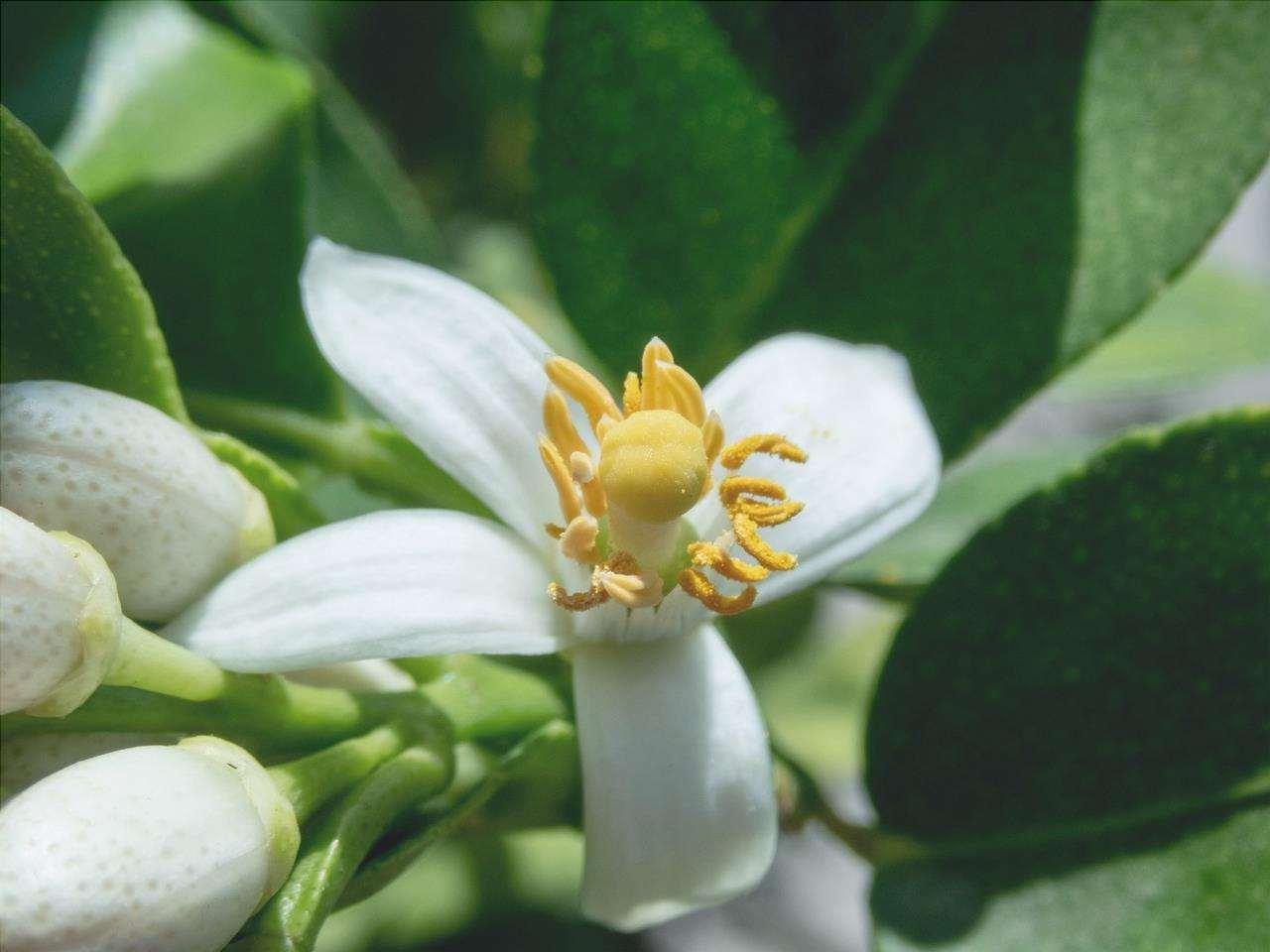 L'albero di limone viene piantato alla fine dell'inverno.
