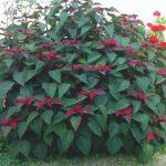 flor de pascua arbusto