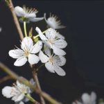 flor de prunus