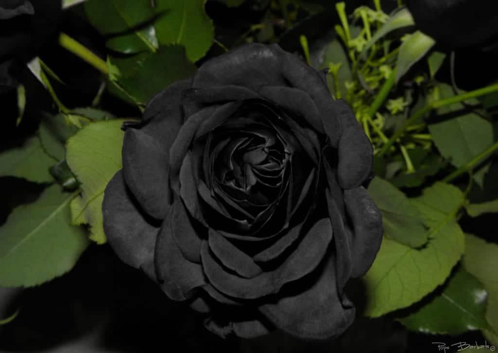 flor de rosa negra 1