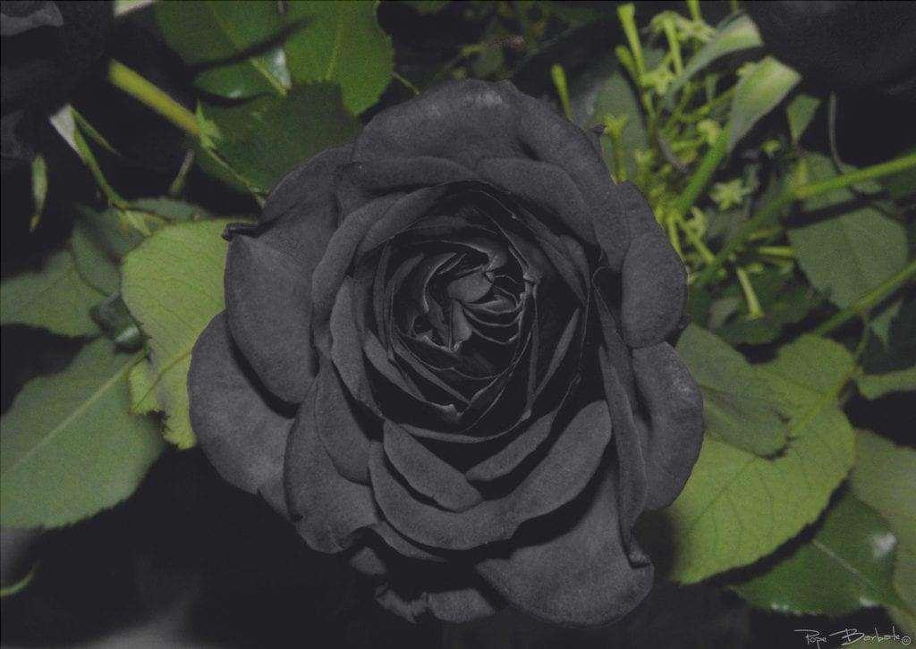 Fiore di rosa nera