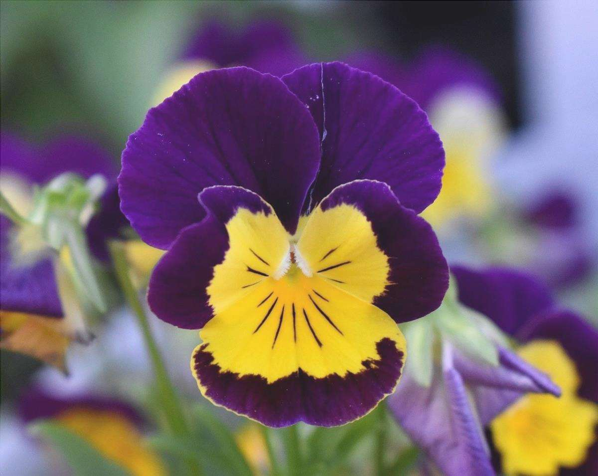 La viola del pensiero è una pianta erbacea che fiorisce in inverno.